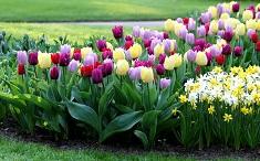 Как выбрать и посадить тюльпаны на даче: методы и этапы посадки