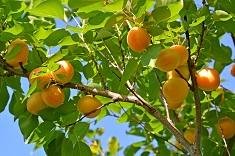 Как выбрать саженцы абрикоса: особенности выбора и ухода