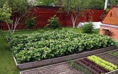 Как вырастить клубнику на даче: выбор сорта и основные этапы